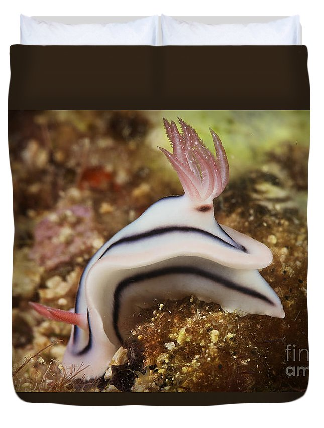 Chromodoris Lochi Duvet Cover featuring the photograph Nudibranch Feeding On The Reef, Fiji by Terry Moore