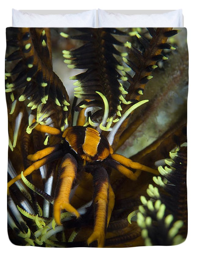 Allogalathea Elegans Duvet Cover featuring the photograph Orange And Brown Elegant Squat Lobster by Steve Jones