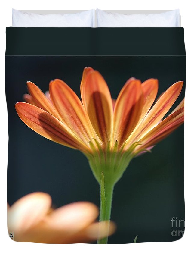 Osteospermum Duvet Cover featuring the photograph Osteospermum Named Sunadora Palermo by J McCombie