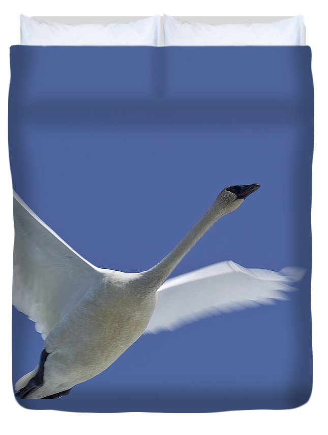 Light Duvet Cover featuring the photograph Swan In Flight, Long Exposure by Robert Postma