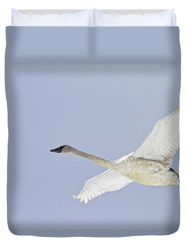Light Duvet Cover featuring the photograph Swan In Flight, Yukon by Robert Postma