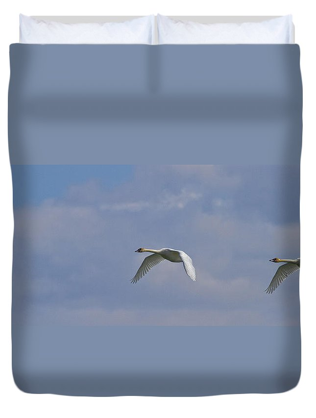 Light Duvet Cover featuring the photograph Swans In Flight, Yukon by Robert Postma