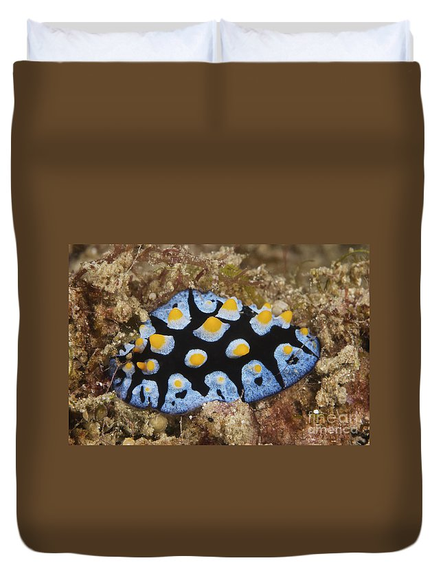 Nudibranch Duvet Cover featuring the photograph Nudibranch Feeding On Algae, Papua New by Terry Moore