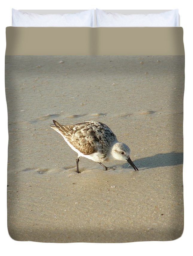 Sandpiper Duvet Cover featuring the photograph Sandpiper Hunting On Assateague Island Maryland by Sven Migot