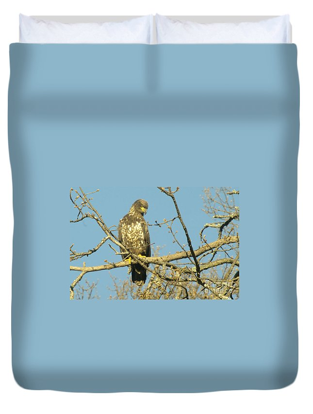 Eagles Duvet Cover featuring the photograph A Young Eagle Gazing Down by Jeff Swan