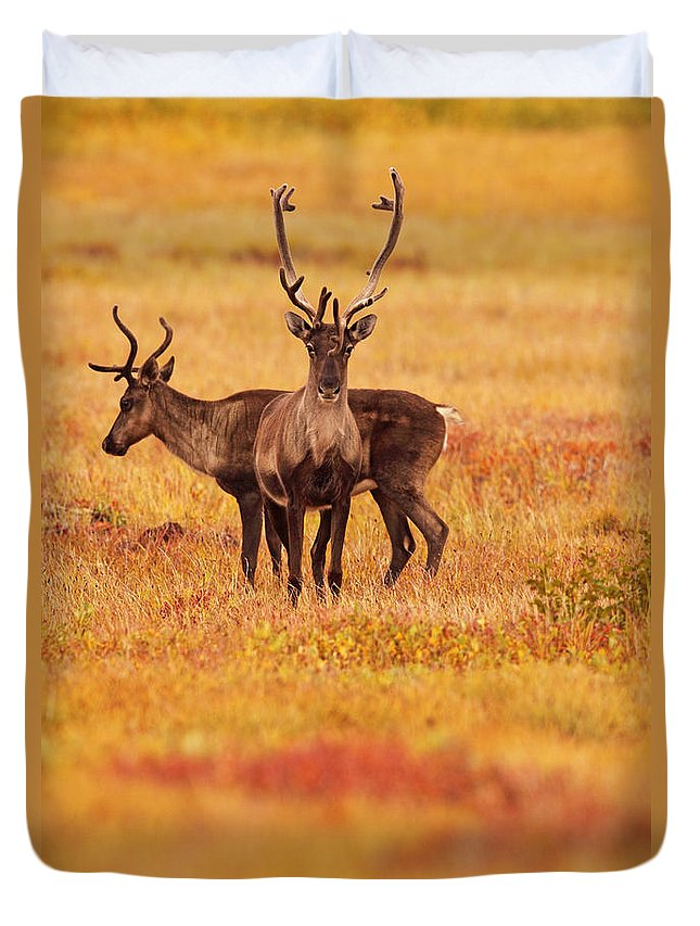 Light Duvet Cover featuring the photograph Adult Caribou In The Fall Colours by Robert Postma