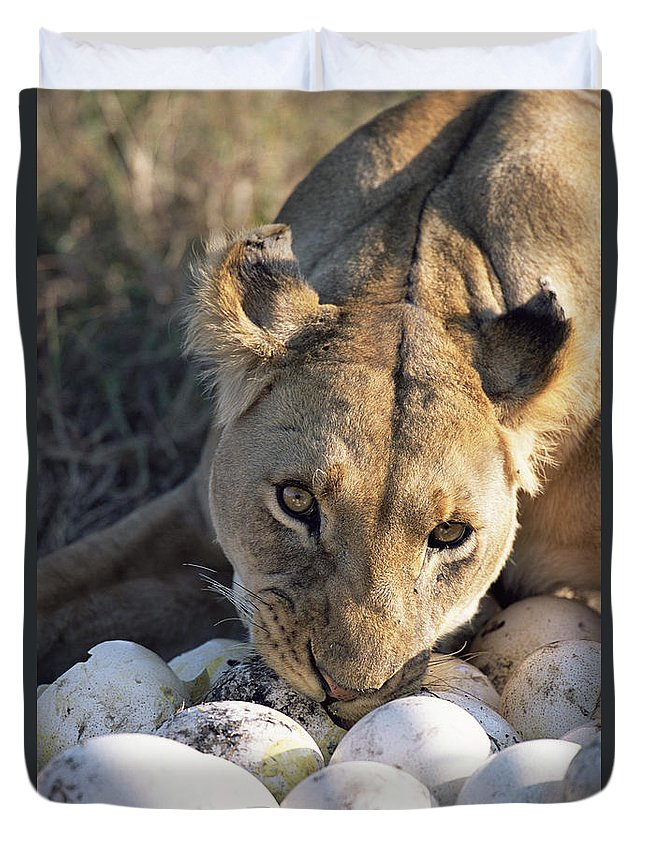 Npl Duvet Cover featuring the photograph African Lion Panthera Leo Raiding by Peter Blackwell