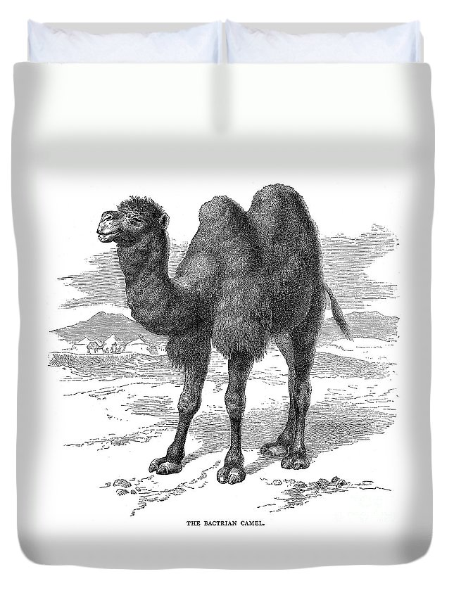 19th Century Duvet Cover featuring the photograph Bactrian Camel by Granger