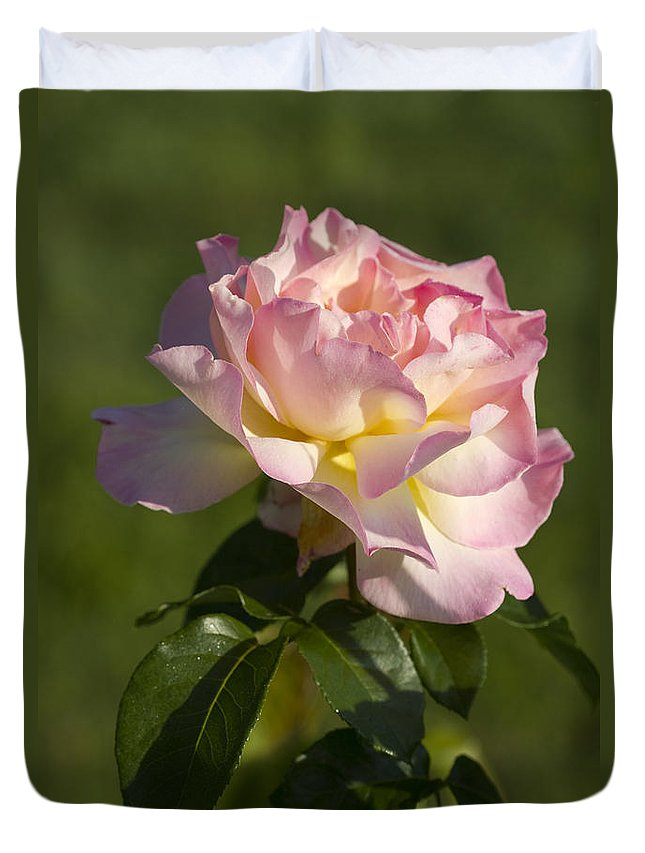 Peace Rose Duvet Cover featuring the photograph Beautiful Pink And Yellow Climbing Peace Rose by Kathy Clark