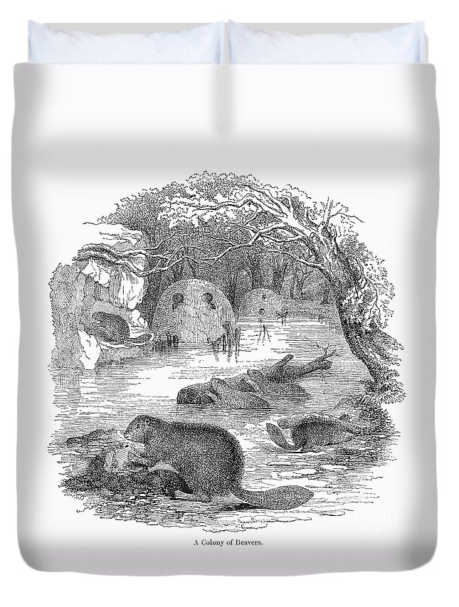 19th Century Duvet Cover featuring the photograph Beavers by Granger