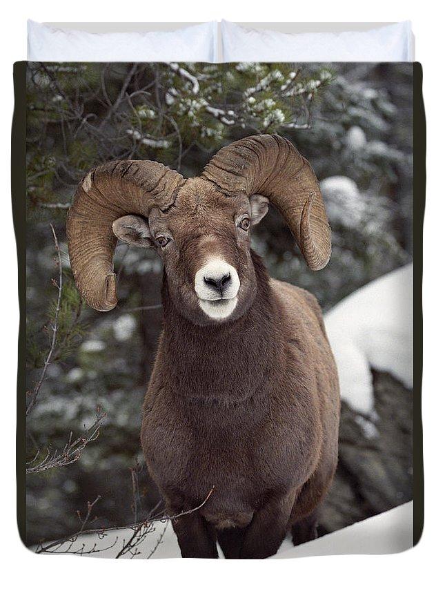 Light Duvet Cover featuring the photograph Bighorn Sheep, Maligne Canyon, Jasper by Darwin Wiggett