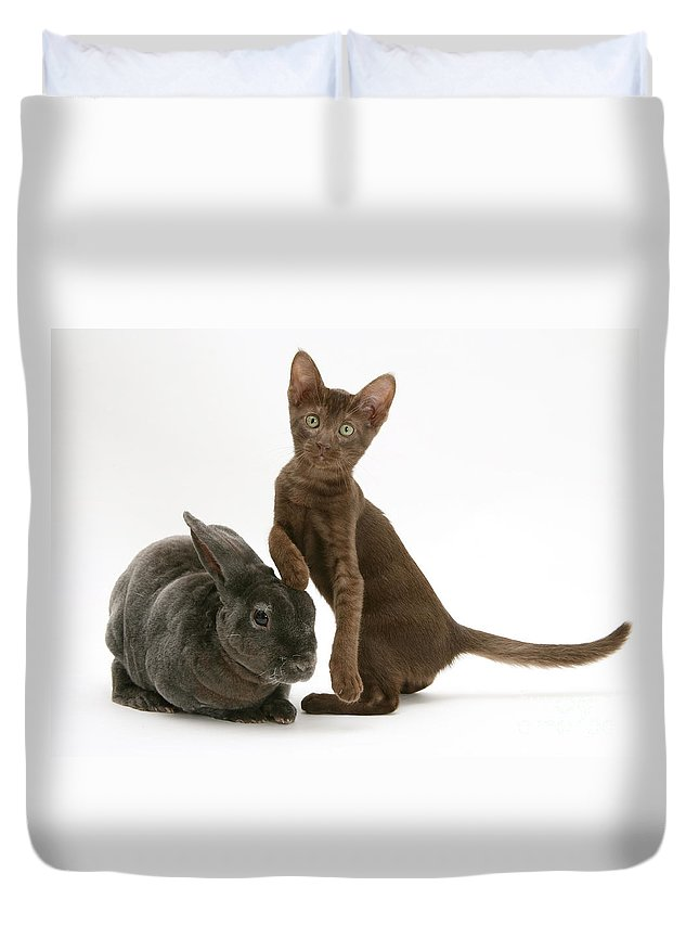 White Background Duvet Cover featuring the photograph Burmese-cross Kitten And Rex Rabbit by Jane Burton