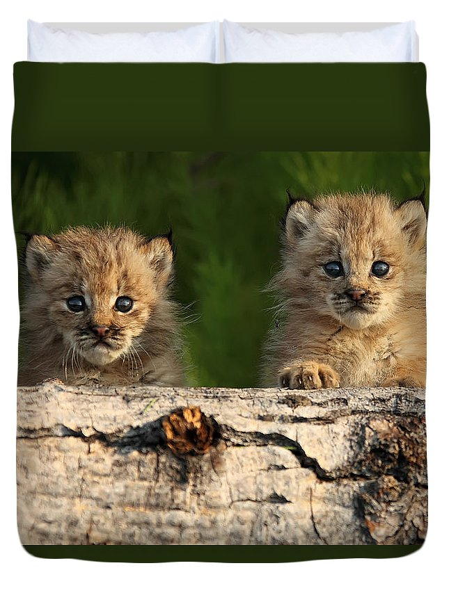 Light Duvet Cover featuring the photograph Canadian Lynx Kittens Looking by Robert Postma