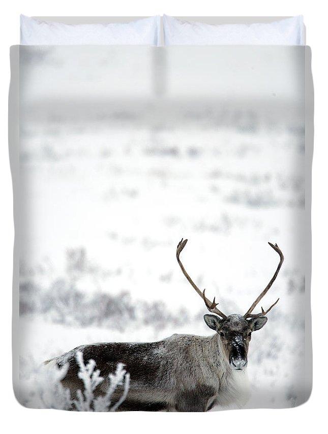 Light Duvet Cover featuring the photograph Caribou Rangifer Tarandus Dempster by Robert Postma