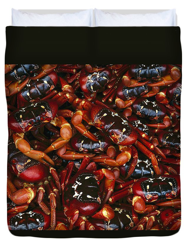 Ai Duvet Cover featuring the photograph Christmas Island Red Crab Gecarcoidea by Jean-Paul Ferrero