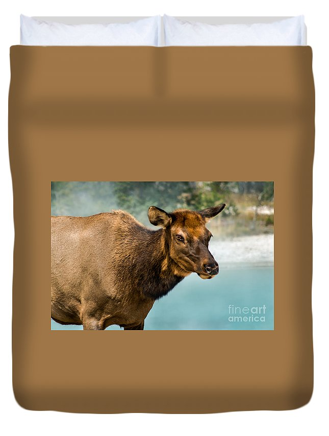 Animals Duvet Cover featuring the photograph Cow Elkii by Robert Bales