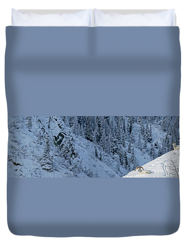 Light Duvet Cover featuring the photograph Dall Sheep Ovis Montana Sheep Mountain by Robert Postma