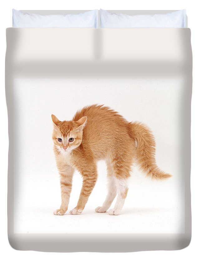 White Background Duvet Cover featuring the photograph Frightened Burmese-cross Cat by Jane Burton