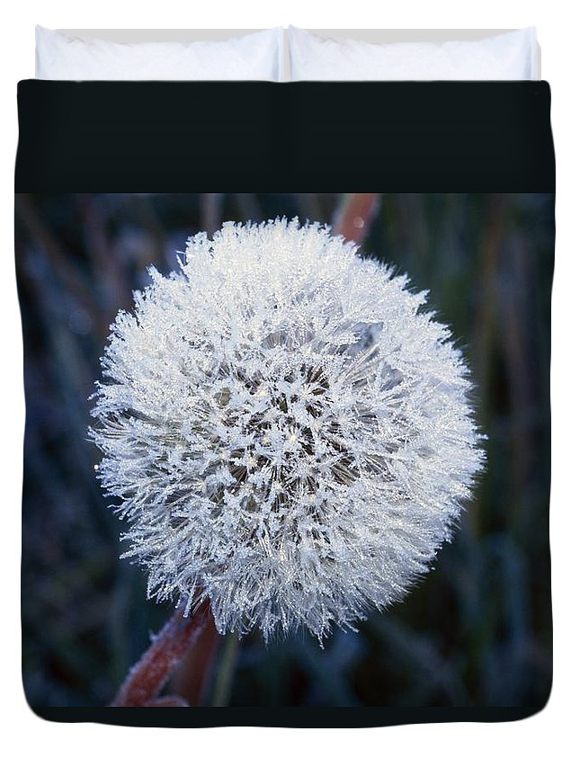 Winter Duvet Cover featuring the photograph Frost On Mature Dandelion Blossom by Natural Selection Craig Tuttle
