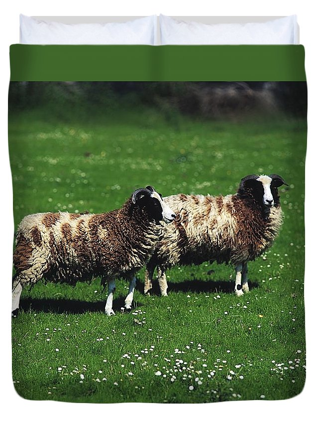 Animal Husbandry Duvet Cover featuring the photograph Jacob Sheep by The Irish Image Collection