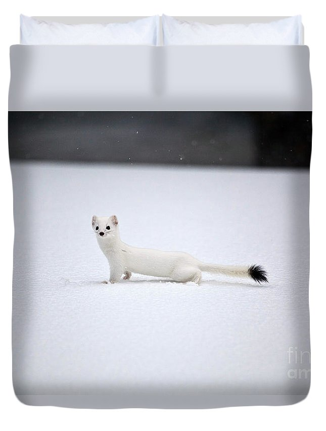 Nature Duvet Cover featuring the photograph Long-tailed Weasel In Winter by Greg Dimijian