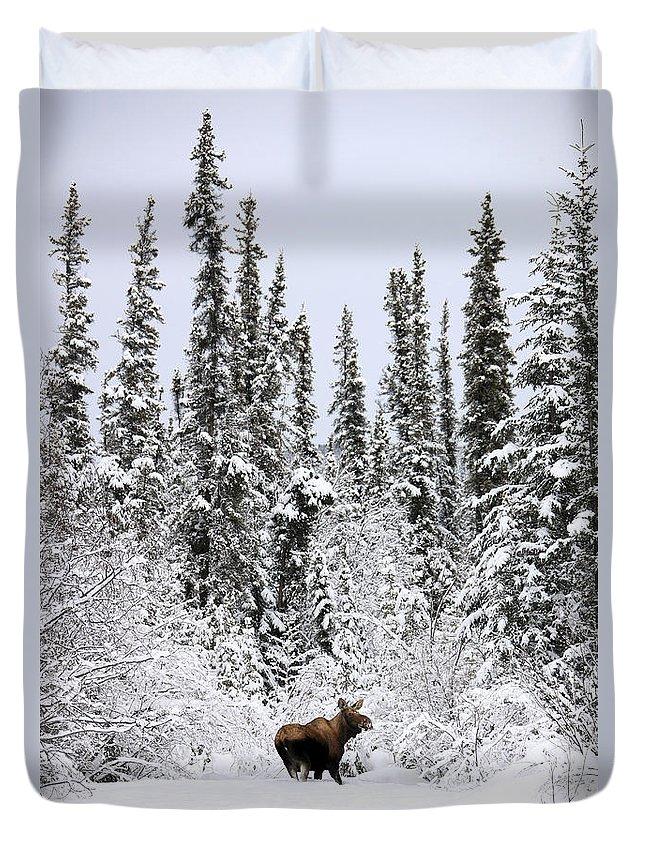 Light Duvet Cover featuring the photograph Moose In Deep Snow, Near Teslin, Yukon by Robert Postma