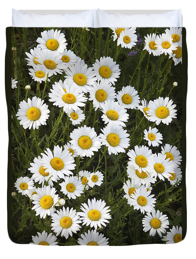 Light Duvet Cover featuring the photograph Ox-eyed Daisies, Banff National Park by Darwin Wiggett