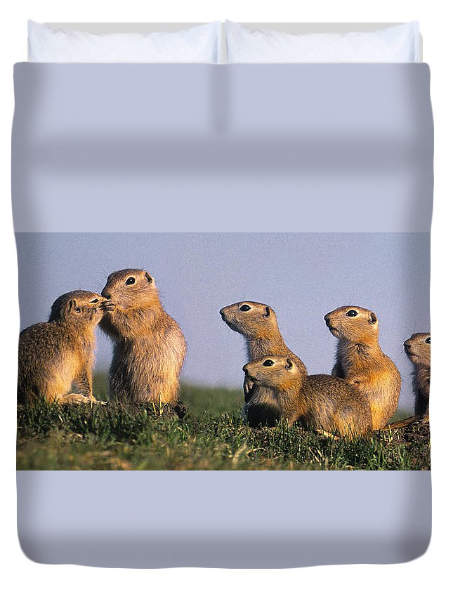Light Duvet Cover featuring the photograph Prarie Dog Family by Darwin Wiggett