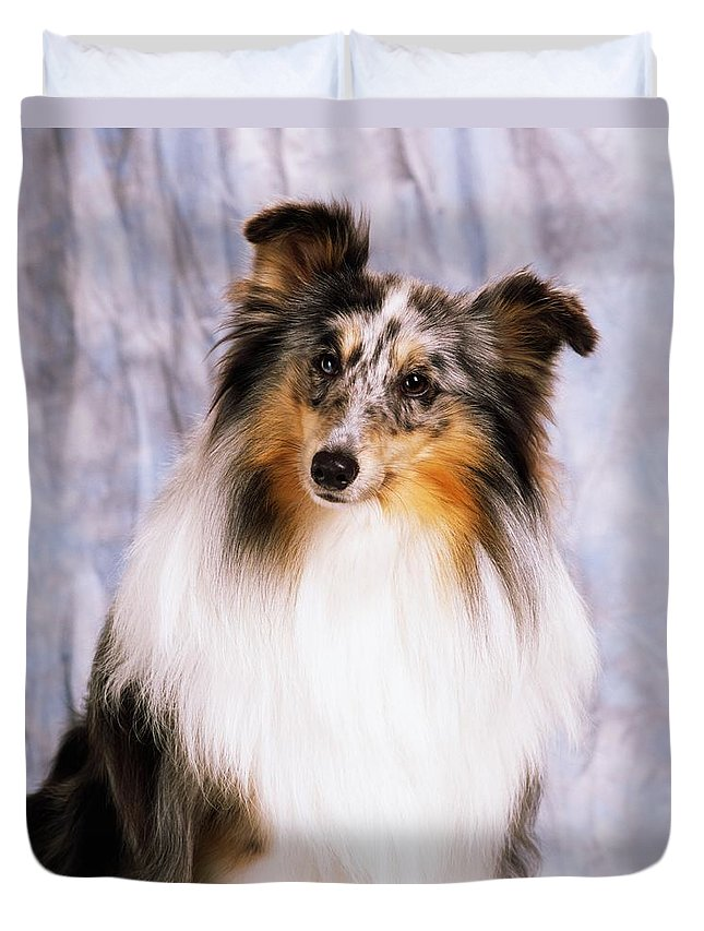Color Duvet Cover featuring the photograph Shetland Sheepdog Portrait Of A Dog by The Irish Image Collection