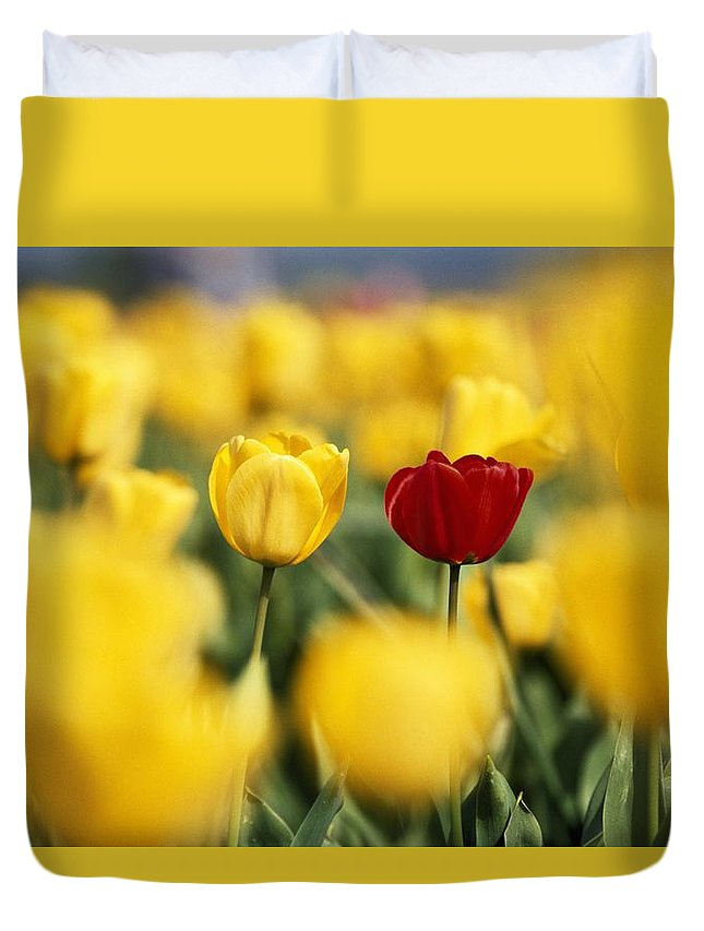 Outdoors Duvet Cover featuring the photograph Single Red Tulip Among Yellow Tulips by Natural Selection Craig Tuttle