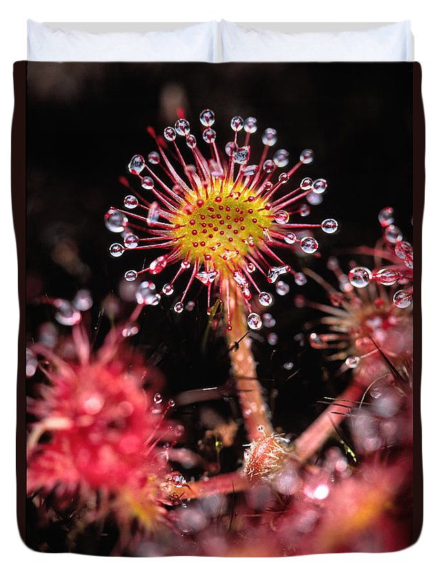 Light Duvet Cover featuring the photograph Sundew, Vancouver Island, British by Robert Postma