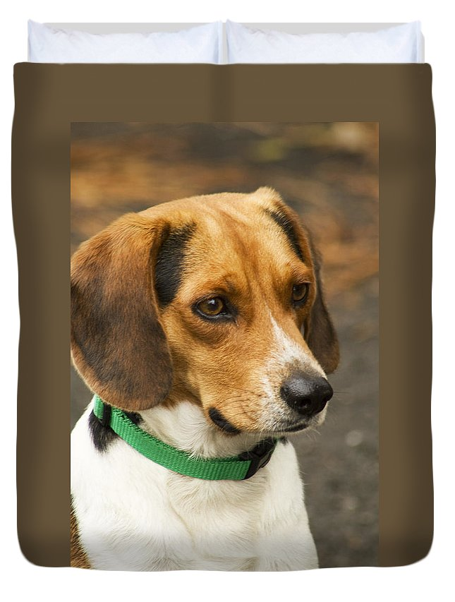 Beagle Duvet Cover featuring the photograph Sweet Little Beagle Dog by Kathy Clark