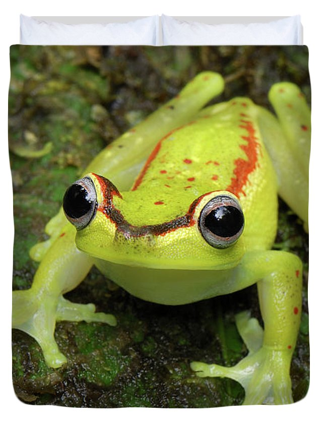 Mp Duvet Cover featuring the photograph Tree Frog Hyla Rubracyla, Colombia by Thomas Marent