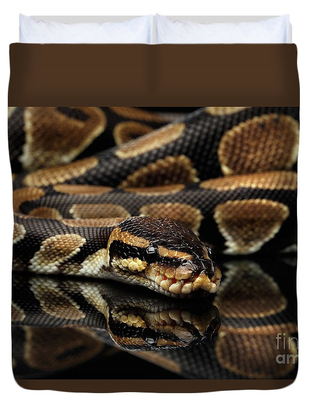 Snake Duvet Cover featuring the photograph Ball Or Royal Python Snake On Isolated Black Background by Sergey Taran