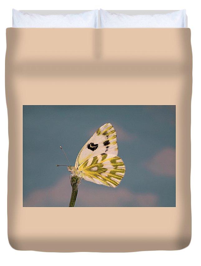 Becker's; White; Butterfly; Pontia; Beckerii; Great; Beasin; White; Sagebrush; White; Probiscis; Feeding Tube; Nectar; Pollen; Nature; Outdoors; Garden; Tranquil; Feeding; Eating Duvet Cover featuring the photograph Becker's White Butterfly by Buddy Mays