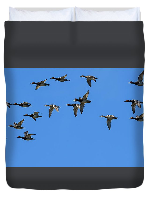 Anatidae Duvet Cover featuring the photograph Flock Of Redhead Ducks In Flight by Steve Samples