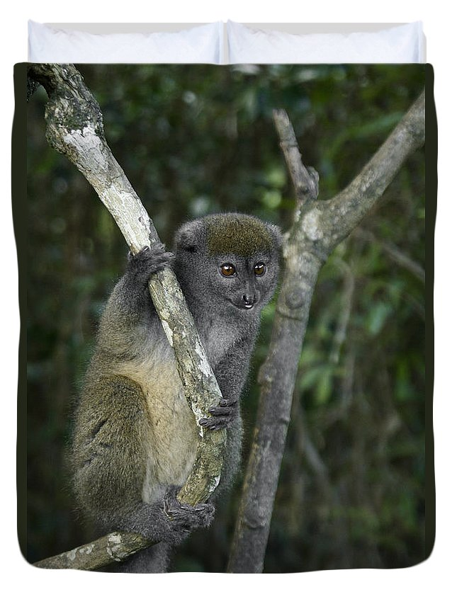 Madagascar Duvet Cover featuring the photograph Gray Bamboo Lemur by Michele Burgess