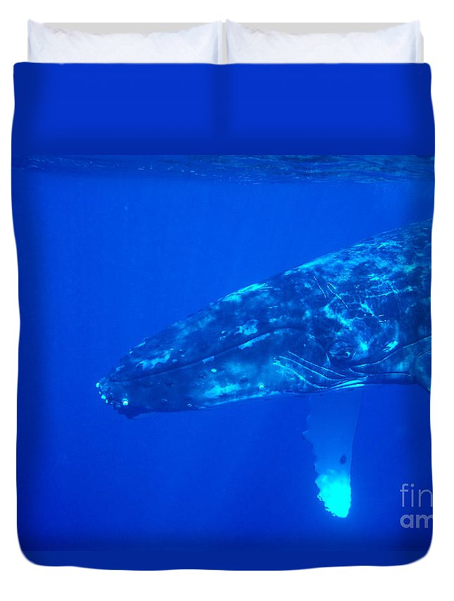Amaze Duvet Cover featuring the photograph Humpback Whale by Dave Fleetham - Printscapes