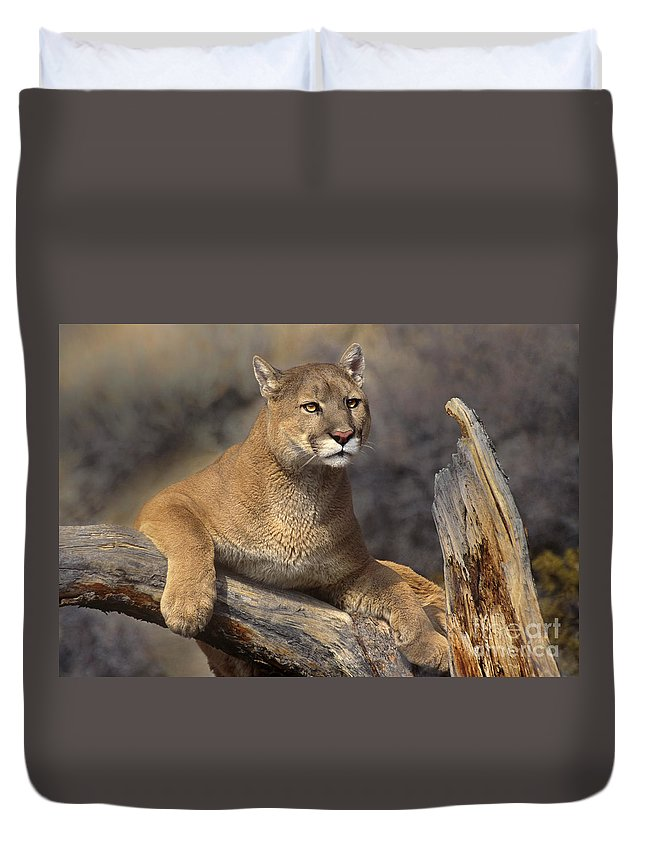 Dave Welling Duvet Cover featuring the photograph Mountain Lion Felis Concolor by Dave Welling