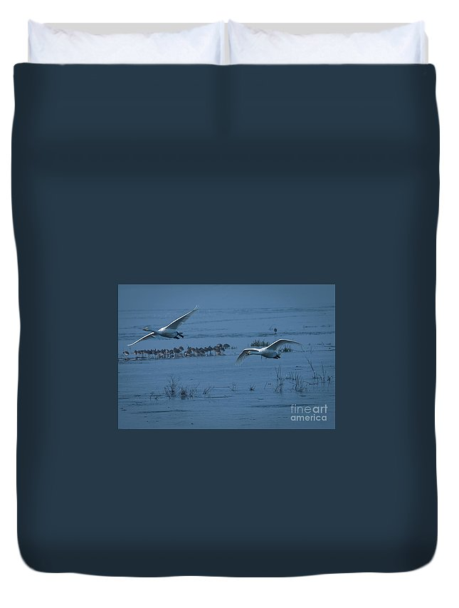 Whooper Duvet Cover featuring the photograph Whooper Swans In Flight by Philip Pound