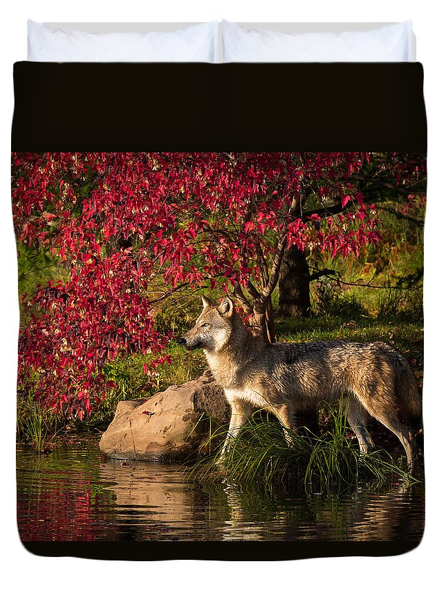 Wolf Duvet Cover featuring the photograph Wolf Portrait In Fall by Michelle Lalancette
