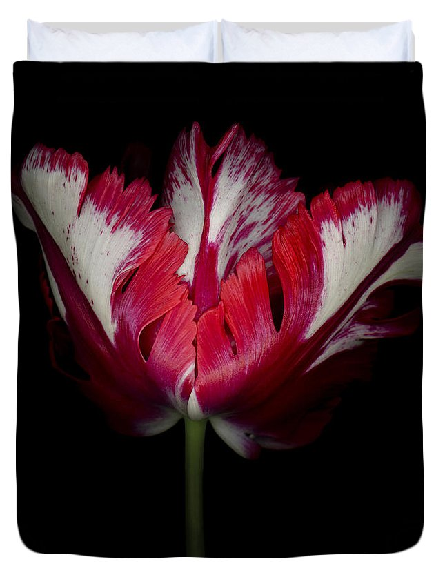 Black Duvet Cover featuring the photograph Red And White Parrot Tulip by Oscar Gutierrez