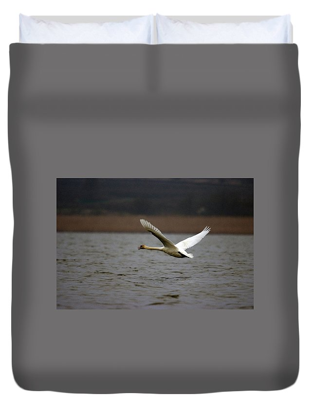 Swan In Flight Duvet Cover featuring the photograph Swan During Take Off by Cliff Norton