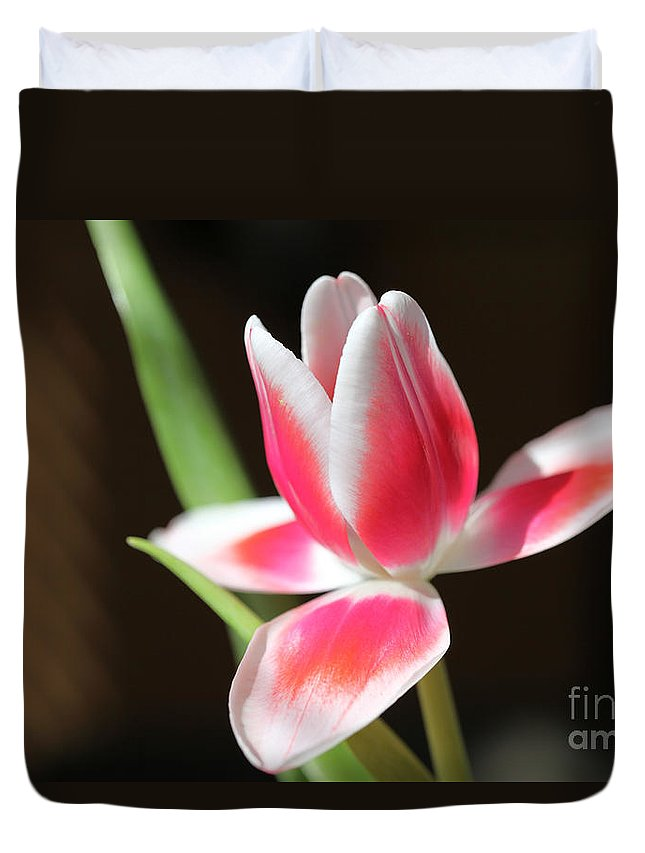Tags: Duvet Cover featuring the photograph Tulip by Amanda Barcon