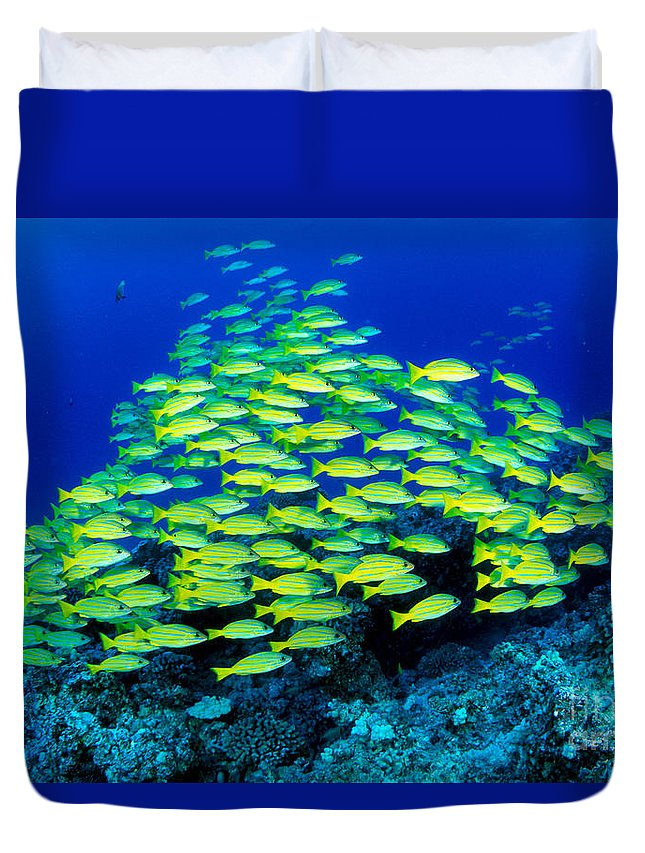 30-pfs0059 Duvet Cover featuring the photograph Bluestripe Snapper by Dave Fleetham - Printscapes