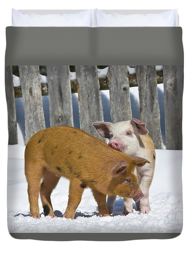 Piglet Duvet Cover featuring the photograph Two Piglets Playing by Jean-Louis Klein & Marie-Luce Hubert