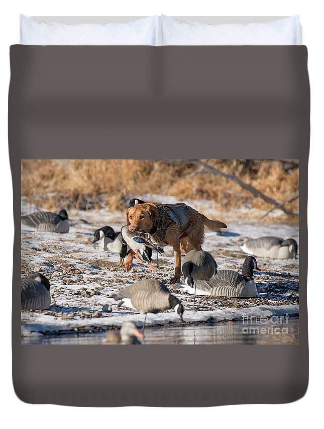 Yellow Labrador Retreiver Retrievers Retrieving Band Banded With Duvet Cover featuring the photograph Duck And Goose Hunting Stock Photo Image by Chip Laughton