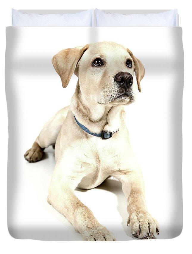 Animals Duvet Cover featuring the photograph Labrador Puppy by Gunnar Orn Arnason