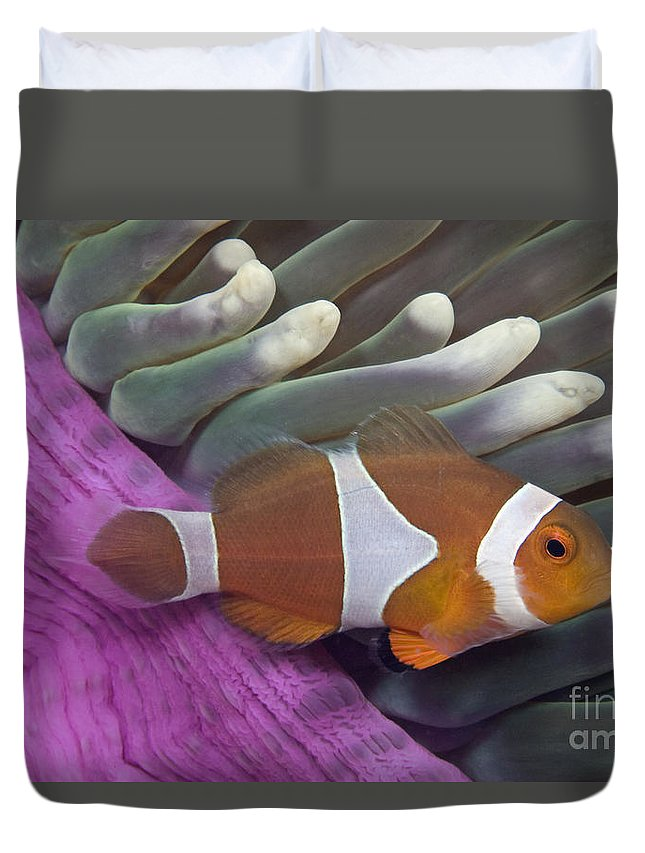 Amphiprion Duvet Cover featuring the photograph Malaysia, Marine Life by Dave Fleetham - Printscapes