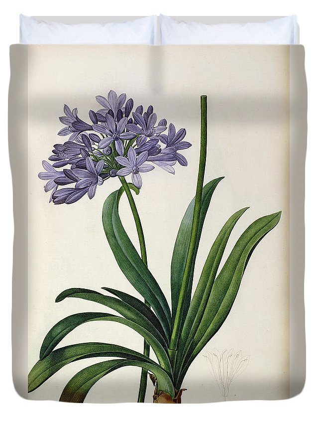 Agapanthus Duvet Cover featuring the painting Agapanthus Umbrellatus by Pierre Redoute